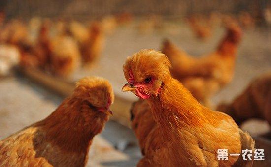 北京油鸡商品肉鸡的饲养与管理