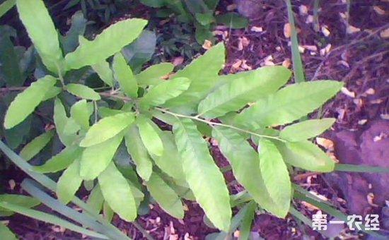 牛误食栎树叶中毒的防治措施