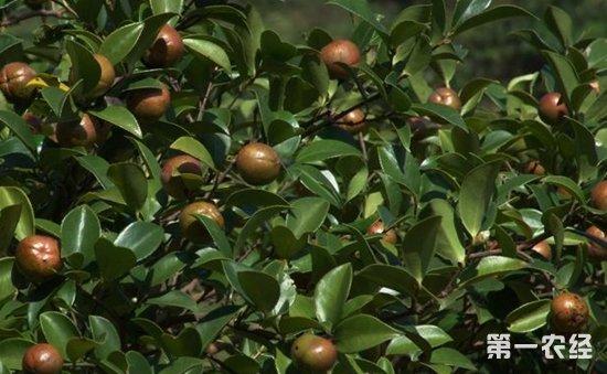 油茶苗栽培技术_油茶树种植方法与管理技术要点 - 种植技术 - 第一农经网