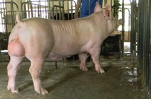 公猪早衰的原因和淘汰方法