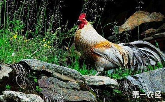 原鸡有几个品种?原鸡品种大全(图集)