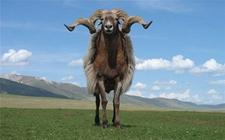 青海省海北藏族自治州刚察县特产——刚察藏羊