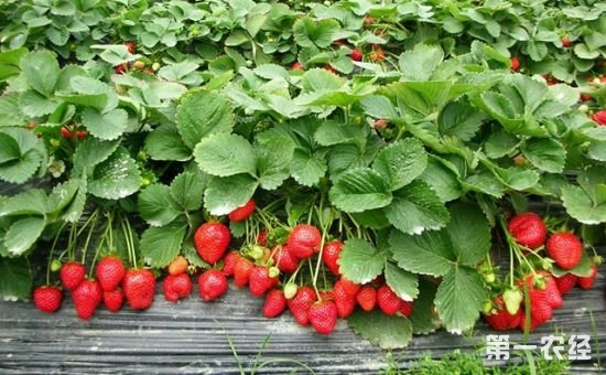 草莓种植需肥量大不大?草莓施什么肥料好?