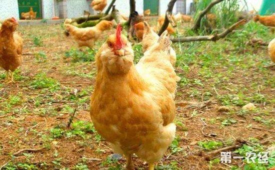 胡须鸡的繁殖性能怎样?胡须鸡母鸡一年平均产多少鸡蛋?