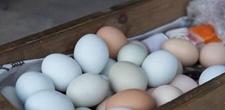 赫章绿色鸡蛋一年卖了3亿元!年产2400万公斤