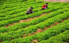 贵州拟在51个县展开中药材种植 三年后种植面积可达700多万亩