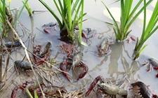 信阳横川:深化渔业供给侧结构性改革 小龙虾市场走俏农户钱袋鼓起