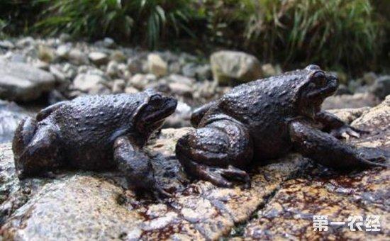 张水生:石蛙养殖重获新生  实现创业致富梦