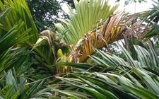 槟榔主要病虫害及其防治