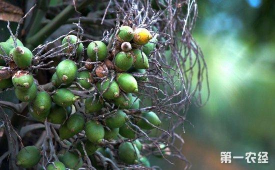 槟榔树长啥样?湖南能种槟榔树吗?中国哪里有槟榔树?