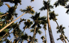 槟榔树与棕榈树、椰子树的区别