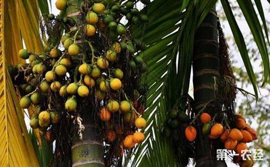 槟榔树种植几年能结果?一棵槟榔树能结多少果?