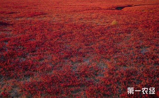 碱蓬草为什么是红色的?碱蓬草怎么种植栽培?