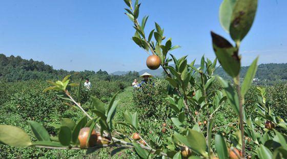 贵州锦屏县:油茶产业助农民生态脱贫
