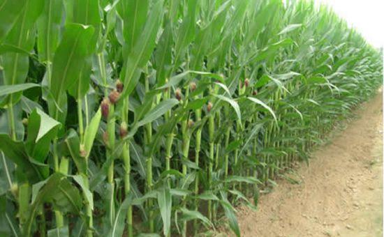 <b>《关于切实做好2017年东北地区玉米和大豆收购工作的通知》发布</b>
