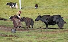 甘肃甘南特产——玛曲牦牛