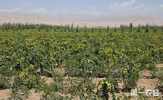 """林果业——新疆阿克苏戈壁滩里的""""聚宝盆"""""""