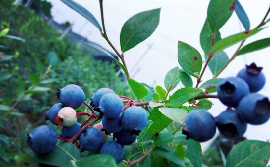 2017国际蓝莓大会于近期在云南曲靖举办