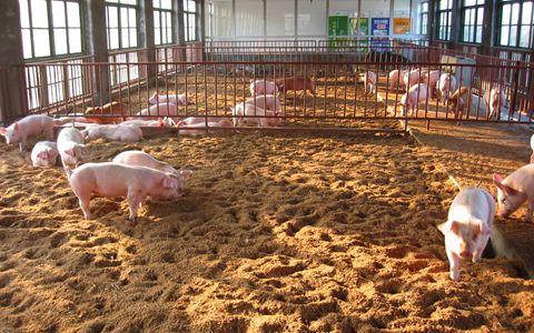 土地政策牵制下的猪场该何去何从?