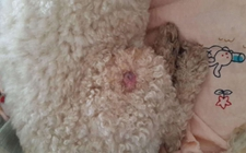 狗身上长脂肪瘤了怎么办?狗狗脂肪瘤原因及防治方法