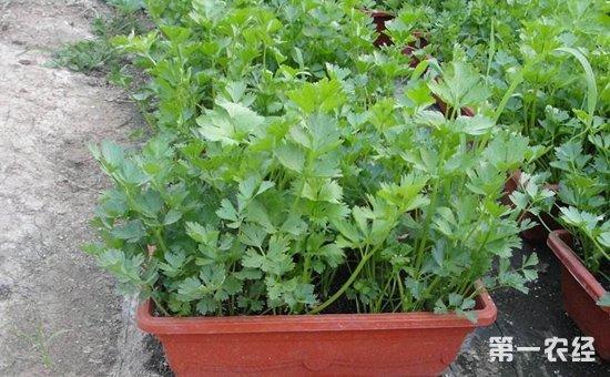 4种常见蔬菜的盆栽方法介绍!吃一茬长一茬不用买