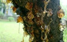 桃树流胶病用什么药?桃树流胶病特效药