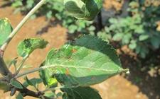 苹果斑点落叶病是怎么回事?苹果树斑点落叶病防治
