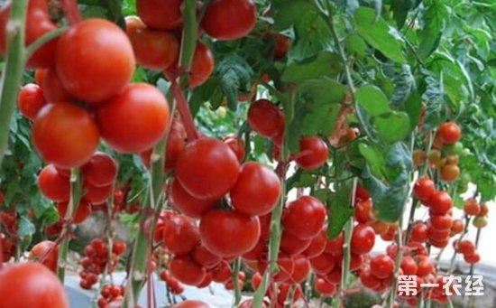 无土栽培蔬菜有哪些?常见的适合无土栽培的蔬菜介绍
