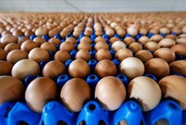 """保加利亚:发现21.5万枚""""毒鸡蛋"""" 36万枚鸡蛋从市场召回"""