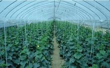 科学施用含钙元素肥料 减少裂瓜裂果