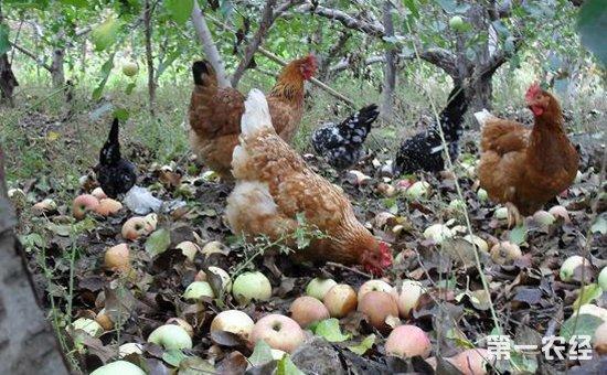 果园养鸡一亩可养多少只?