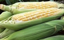 浙江温州检验检疫局:通过玉米转基因品系能力验证