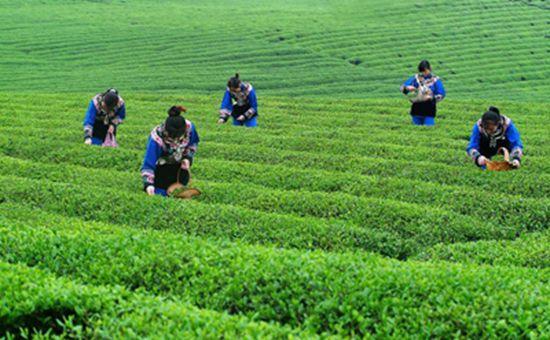 <b>贵州:安排3506万元资金 推动茶产业健康发展</b>