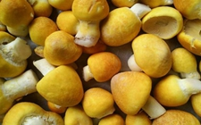 """青海刚察县特色产品——草原上的""""软黄金""""刚察黄蘑菇"""