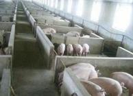 猪舍建设容易犯的错误