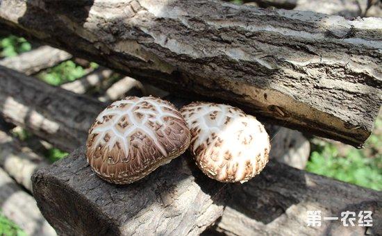 香菇种植成本要多少?香菇的种植成本和产出效益分析