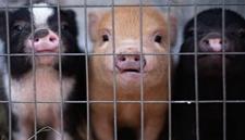 母猪饲喂自动化设备使用条件和饲喂方法