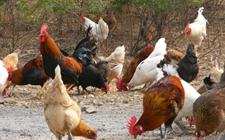 土鸡养殖摘掉穷帽 点亮村民脱贫致富曙光
