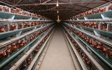 鸡舍高度设计有什么要求?影响鸡舍高度的因素有哪些?