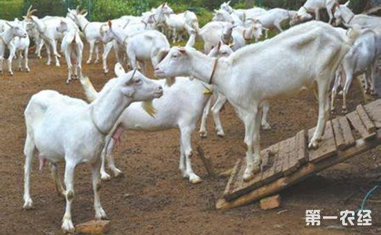 两兄弟携手养殖山羊 成为扶贫新产业