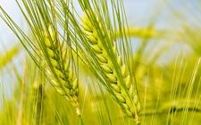 化肥市场即将迎来冬储,局部地区小麦肥销量减少是为什么?