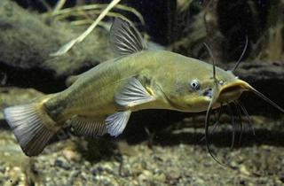 【鲶鱼专题】鲶鱼饲养方法|鲶鱼养殖指南|鱼病防治