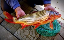 河南洛阳特产——孟津黄河鲤鱼
