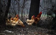 """重拾老本行当起""""鸡司令""""唱响生态致富歌"""