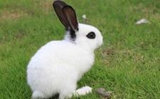 獭兔养殖成本和利润