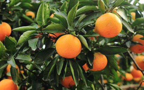 湖南石门县:柑橘已丰收上市 销售形势向好