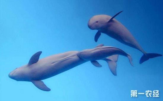 十余头江豚在长江现身 系近十年来的罕见现象
