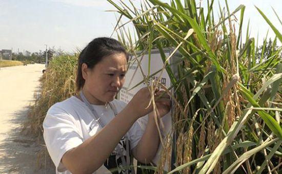 """袁隆平""""海水稻""""今日开始测产 我国2.8亿亩盐碱地有望被开发"""