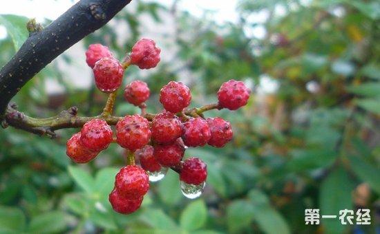 什么花椒树品种最好?花椒树种子什么时候播种?