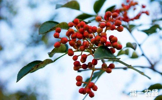 花椒树什么时候种植好?花椒树几年结果?